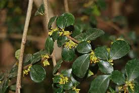 Essai d'acclimatation d'une plante chilienne à fruits comestibles : Azara microphylla