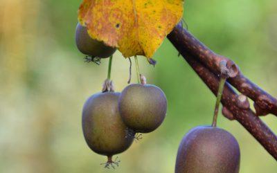 Le kiwaï : des fruits plein le panier