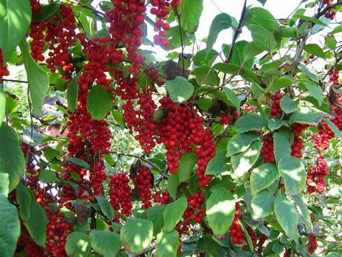 Schisandra jardin foret