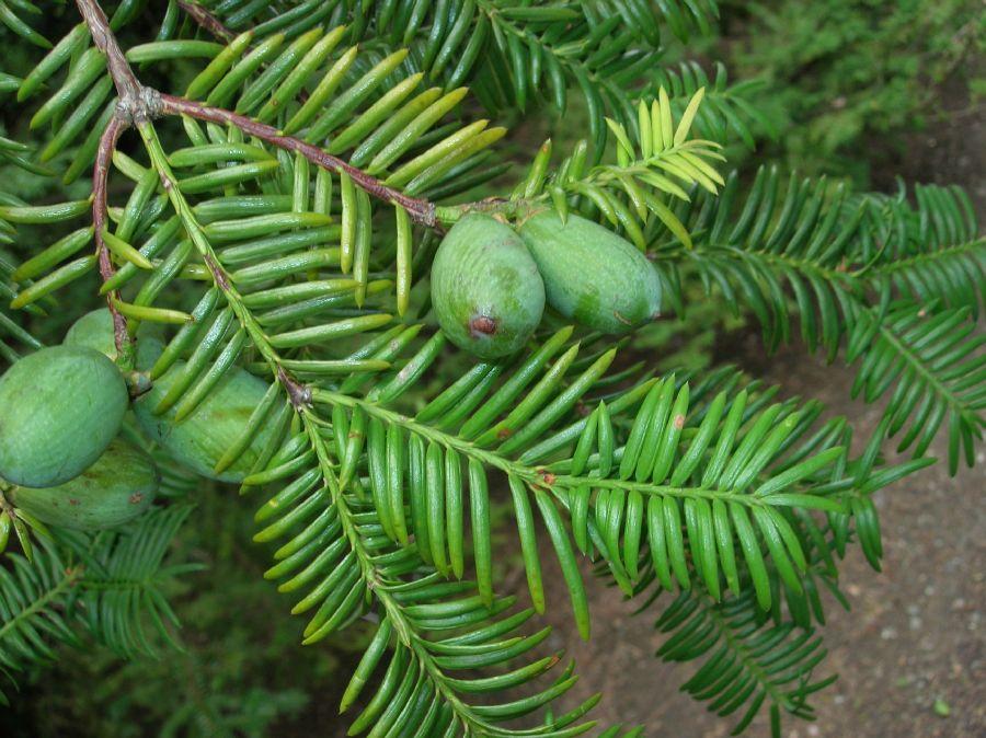 Torreya nucifera : Produire des noix et de l'huile à l'ombre !