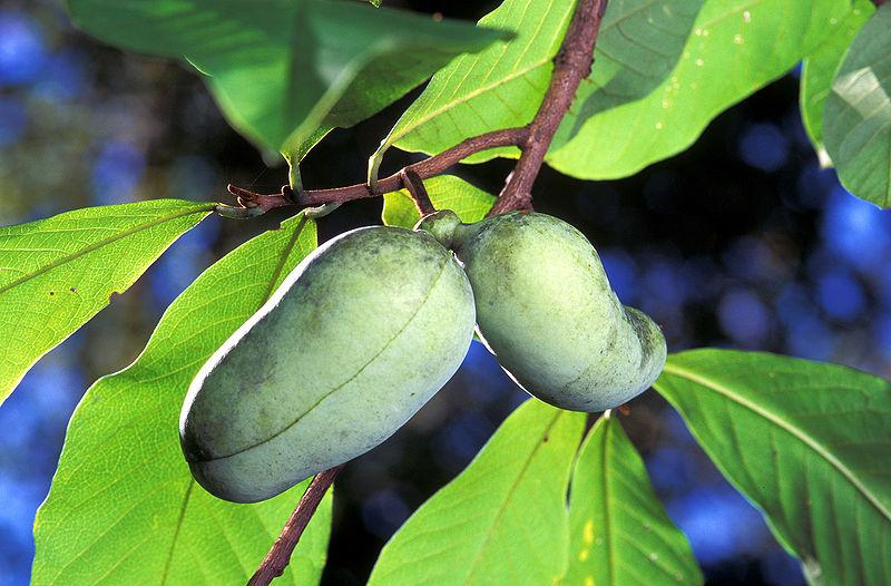 L'asimine: un fruit exotique dans votre agroforêt!