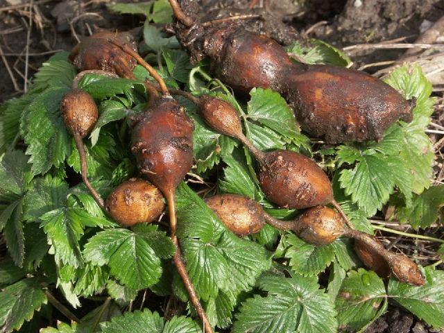 Une liane produisant en même temps des haricots et des chapelets de petites pomme de terres protéinées?