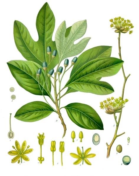 Sassafras albidum : Le condiment des Iroquois