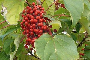 Des guirlandes de petits fruits comme autant de décorations lancées au ciel…