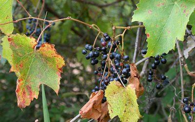 Histoire de la Vigne…une formidable liane des forêts alluviales