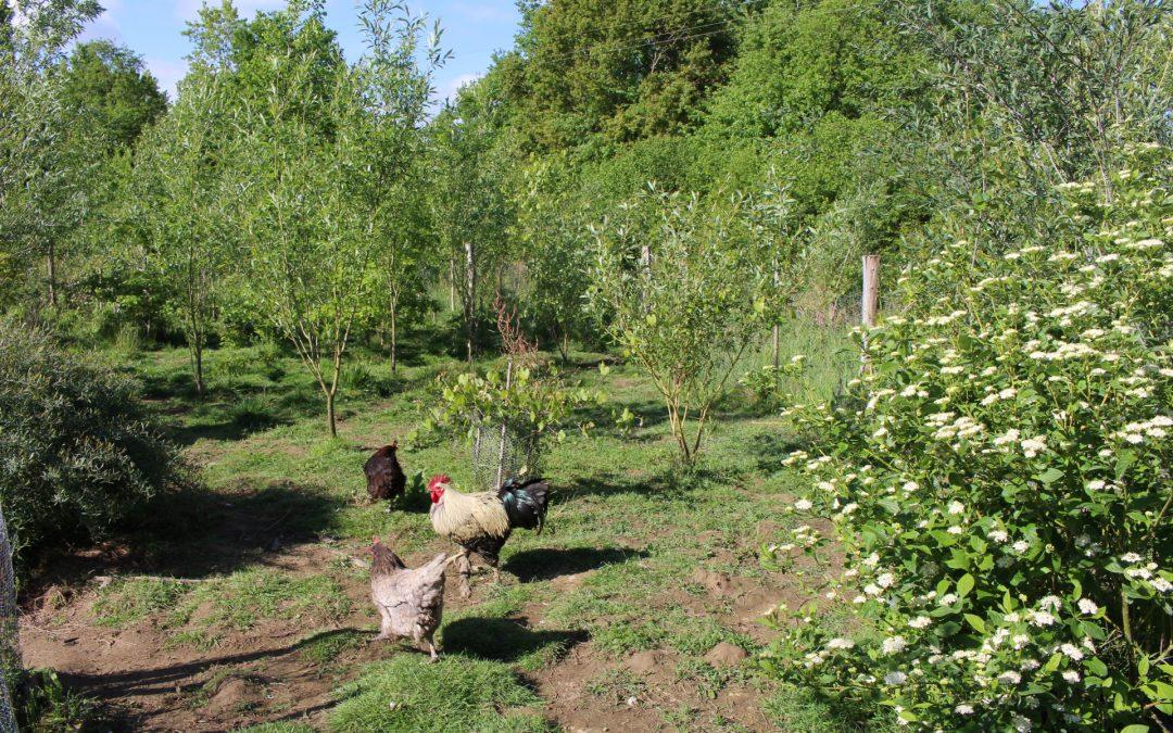 Des poules dans un jardin-forêt….