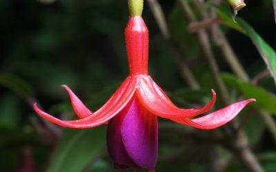 Les baies de Fuchsia