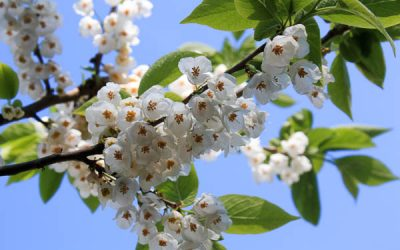 Halesia Carolina: Des concombres dans un arbre!