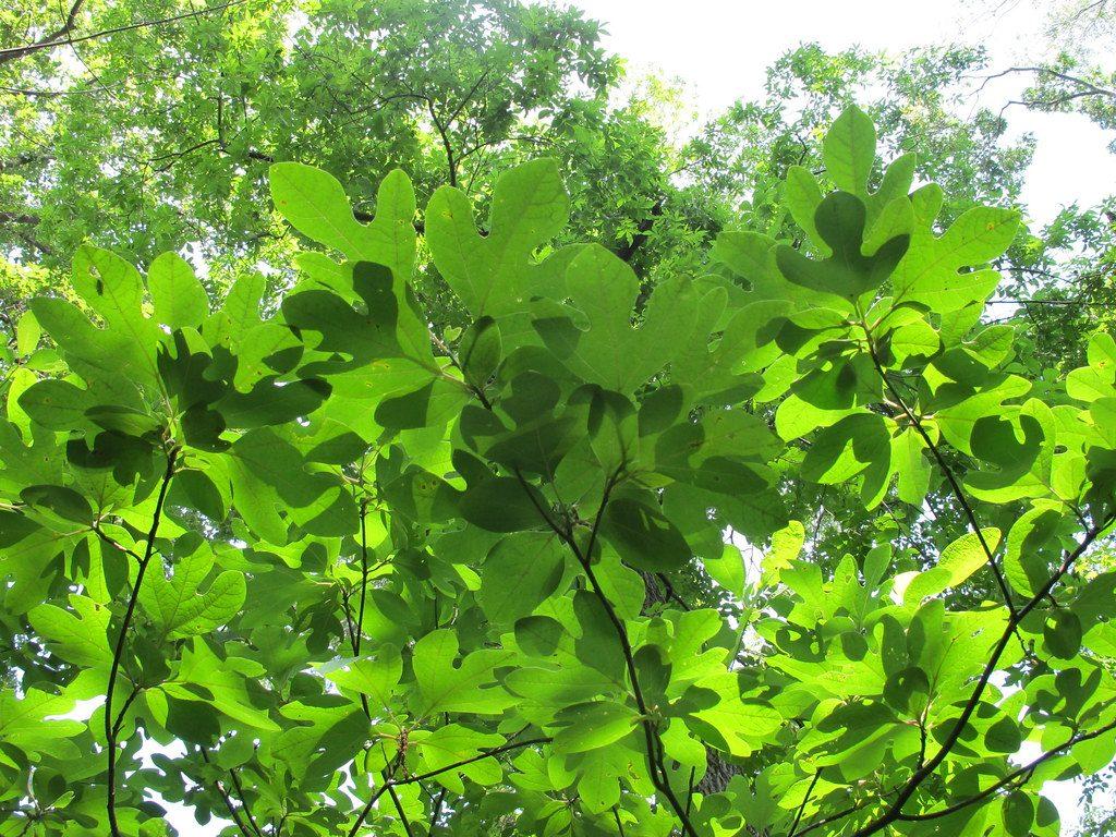 sassafras albidum jardin forêt