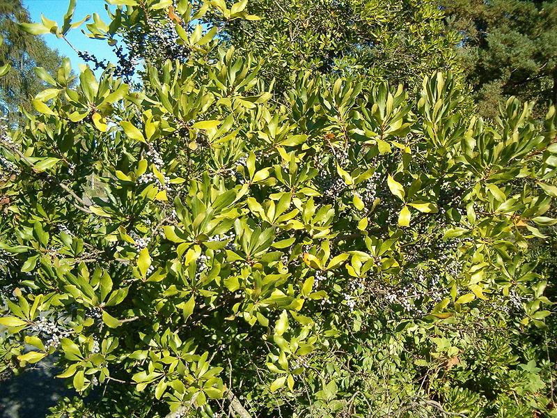 Myrica cerifera : un arbuste pour faire du thé fort et des bougies !