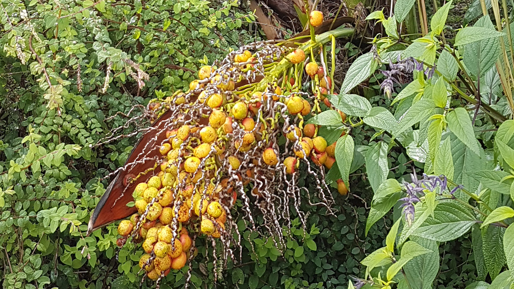 Butia capitata : un palmier dattier dans votre jardin-forêt