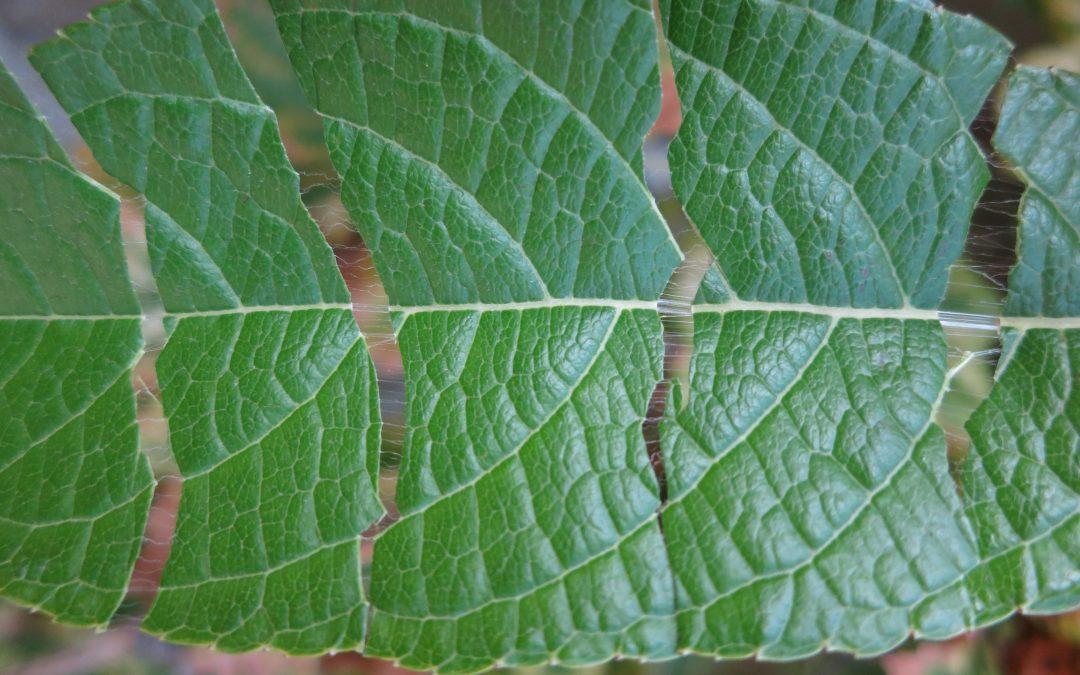 Eucommia ulmoides : l'arbre à gutta-percha