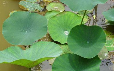 Née du monde aquatique, la fleur la plus vénérée du monde asiatique est portée par une plante intégralement comestible!
