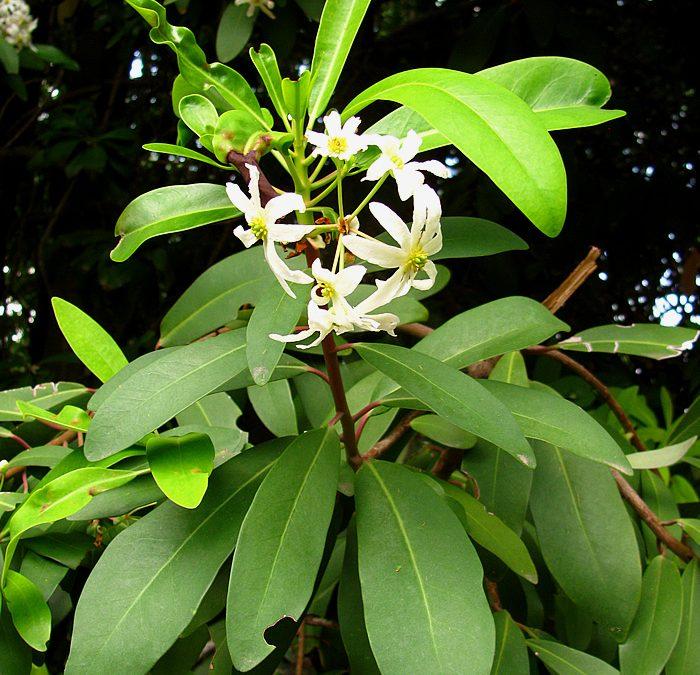 Une épice issue de la flore du Gondwana!