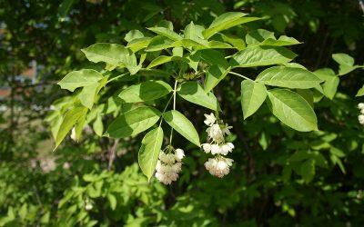 Staphylea pinnata : le pistachier des sous-bois