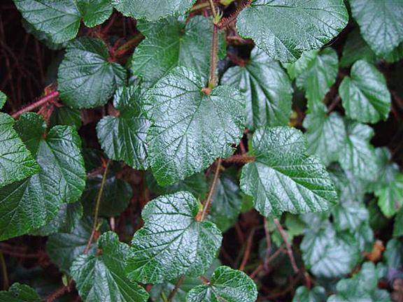 Rubus Tricolor : Un couvre-sol rêvé!