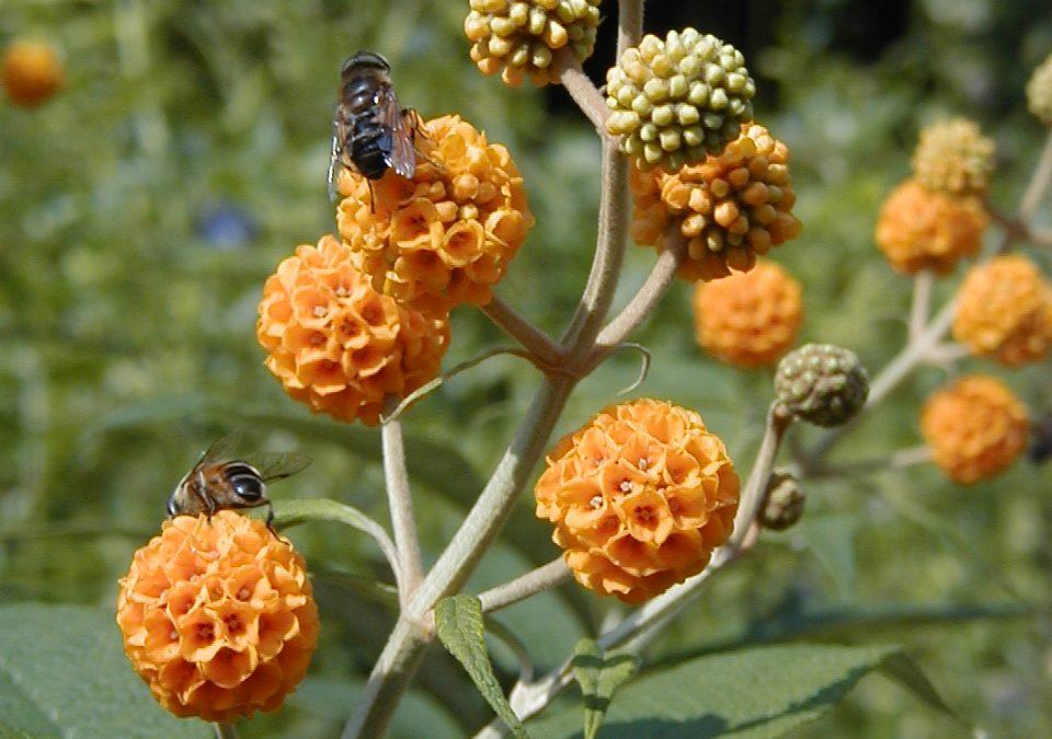 Une médicinale aux senteurs de miel dans un jardin-forêt