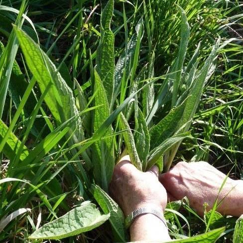 cueillette plantes sauvages