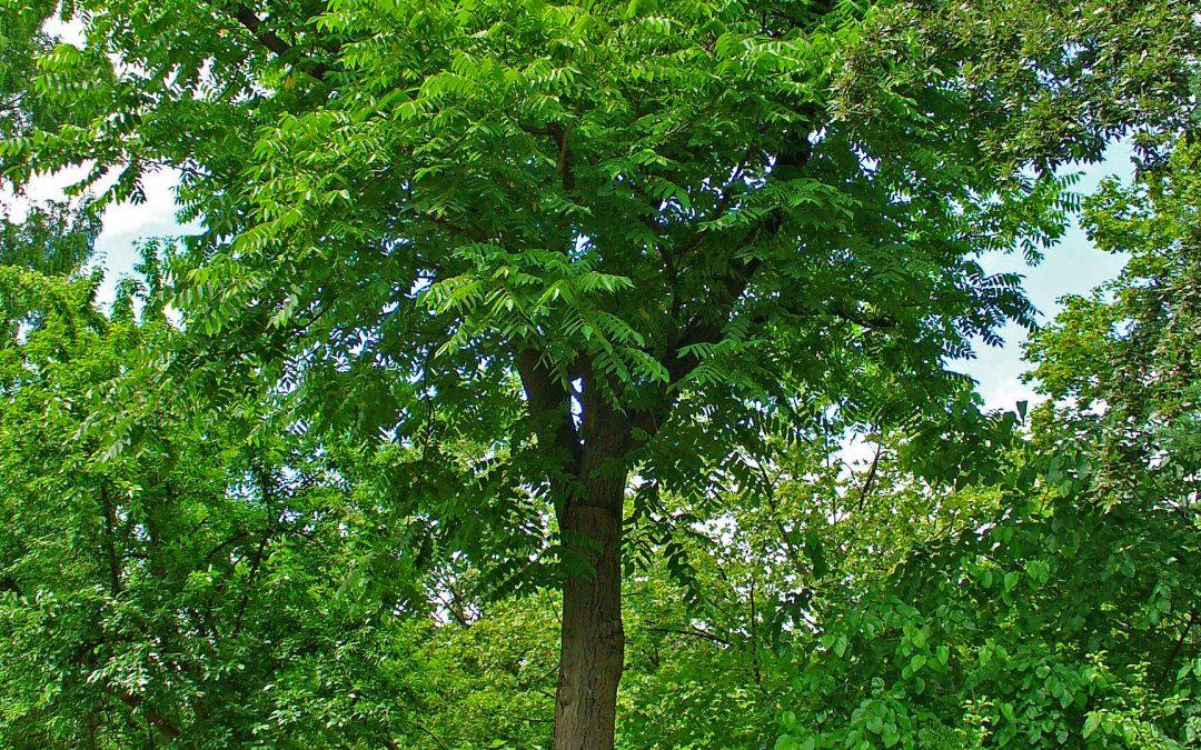 Juglans cinerea : des noix gourmandes et du bois de qualité!